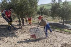 Agricoltore durante la campagna di oliva in un campo di di olivo, f Fotografie Stock Libere da Diritti