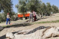 Agricoltore durante la campagna di oliva in un campo di di olivo, f Immagini Stock Libere da Diritti