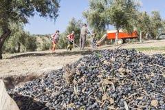 Agricoltore durante la campagna di oliva in un campo di di olivo, f Fotografia Stock Libera da Diritti