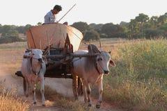 Agricoltore e bue nel paese di Bagan Fotografie Stock