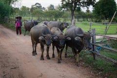 Agricoltore e bufali Fotografia Stock