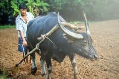Agricoltore e bufalo alla piantagione del riso Fotografia Stock