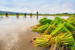 Agricoltore e riso Immagine Stock