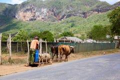 Agricoltore e slitta Bue-disegnata, Vinales, Cuba Fotografia Stock