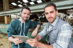 Agricoltore e veterinario che lavorano insieme in un granaio Immagine Stock Libera da Diritti