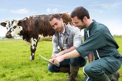 Agricoltore e veterinario che lavorano insieme in un masture con le mucche Immagine Stock