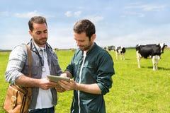 Agricoltore e veterinario che lavorano insieme in un masture con le mucche Fotografia Stock