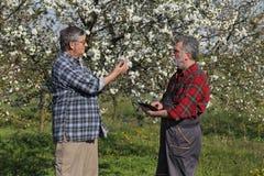 Agricoltore ed agronomo nel frutteto di ciliegia sbocciante Fotografia Stock Libera da Diritti