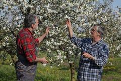 Agricoltore ed agronomo nel frutteto di ciliegia sbocciante Fotografie Stock