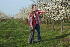 Agricoltore ed agronomo nel frutteto sbocciante della prugna Fotografia Stock