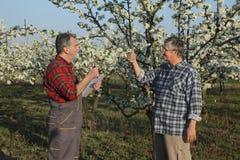 Agricoltore ed agronomo nel frutteto sbocciante della prugna Fotografia Stock Libera da Diritti