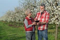 Agricoltore ed agronomo nel frutteto sbocciante della prugna Immagini Stock