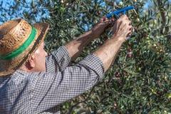 Agricoltore ed olive Immagini Stock
