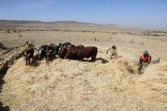 Agricoltore etiopico che usando le sue mucche per il raccolto di trebbiatura Fotografie Stock