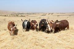 Agricoltore etiopico che usando le sue mucche per il raccolto di trebbiatura Fotografia Stock