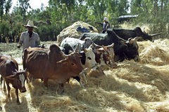 Agricoltore etiopico e mucche che trebbiano grano raccolto Fotografie Stock
