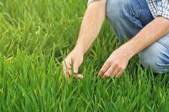Agricoltore Examines e giovane campo di coltivazione del grano di comandi Fotografie Stock