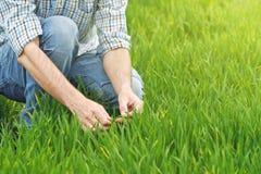 Agricoltore Examines e giovane campo di coltivazione del grano di comandi Immagini Stock