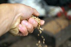 Agricoltore Feeding Chicken Immagine Stock Libera da Diritti
