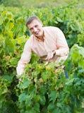 Agricoltore felice che controlla l'acino d'uva e le foglie Fotografia Stock Libera da Diritti
