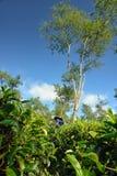 Agricoltore femminile al centro del raccolto del tè Fotografia Stock