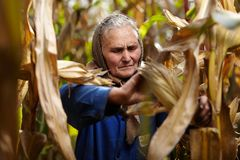 Agricoltore femminile anziano al raccolto di cereale Fotografie Stock Libere da Diritti