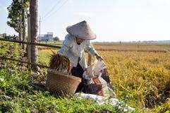 Agricoltore femminile anziano che raccoglie risaia Immagine Stock