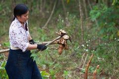 Agricoltore femminile asiatico che raccoglie manioca sul campo Fotografia Stock Libera da Diritti