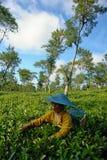 Agricoltore femminile che effettua il raccolto interno del tè Immagine Stock Libera da Diritti