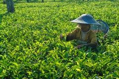 Agricoltore femminile che effettua il raccolto interno del tè Fotografia Stock Libera da Diritti