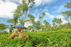 Agricoltore femminile che effettua il raccolto interno del tè Immagini Stock Libere da Diritti