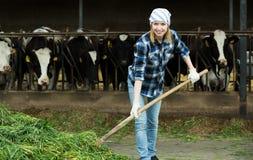Agricoltore femminile che raccoglie erba per le mucche Fotografia Stock