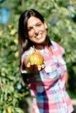 Agricoltore femminile che raccoglie la frutta della pera Immagine Stock Libera da Diritti