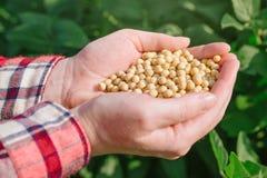 Agricoltore femminile con la soia del od di manciata nel campo coltivato Fotografia Stock Libera da Diritti