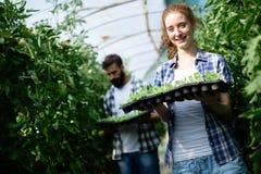 Agricoltore femminile felice attraente che lavora nella serra Fotografie Stock Libere da Diritti