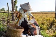 Agricoltore femminile invecchiato che raccoglie risaia Immagini Stock