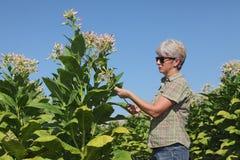 Agricoltore femminile nel campo di tabacco Fotografia Stock Libera da Diritti
