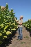 Agricoltore femminile nel campo di tabacco Fotografie Stock
