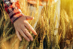 Agricoltore femminile in orecchie commoventi del raccolto del grano della camicia di plaid Fotografia Stock