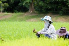 Agricoltore femminile tailandese con il cappello tradizionale che lavora al giacimento del riso Immagine Stock Libera da Diritti