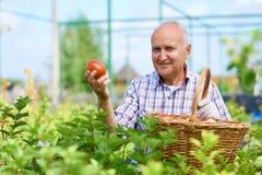 Agricoltore fiero Presenting Ripe Tomatoes Fotografie Stock
