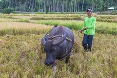 Agricoltore filippino ad un giacimento del riso Fotografie Stock