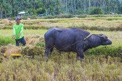 Agricoltore filippino ad un giacimento del riso Fotografia Stock