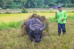Agricoltore filippino ad un giacimento del riso Immagine Stock