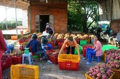 Agricoltore, frutta del drago, dragonfruit, commerciante Fotografie Stock Libere da Diritti