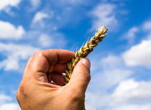 Agricoltore Hand Holding Ear di grano Fotografie Stock
