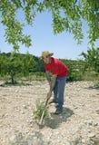 Agricoltore Hoeing In Olive Orchard Fotografia Stock Libera da Diritti