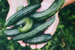 Agricoltore Holding Cucumbers Immagini Stock