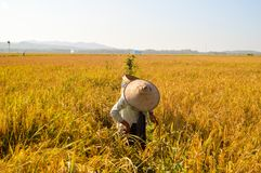 Agricoltore indonesiano che lavora alle risaie Immagine Stock Libera da Diritti