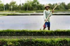 Agricoltore indonesiano che lavora in un terrazzo del riso Immagine Stock Libera da Diritti